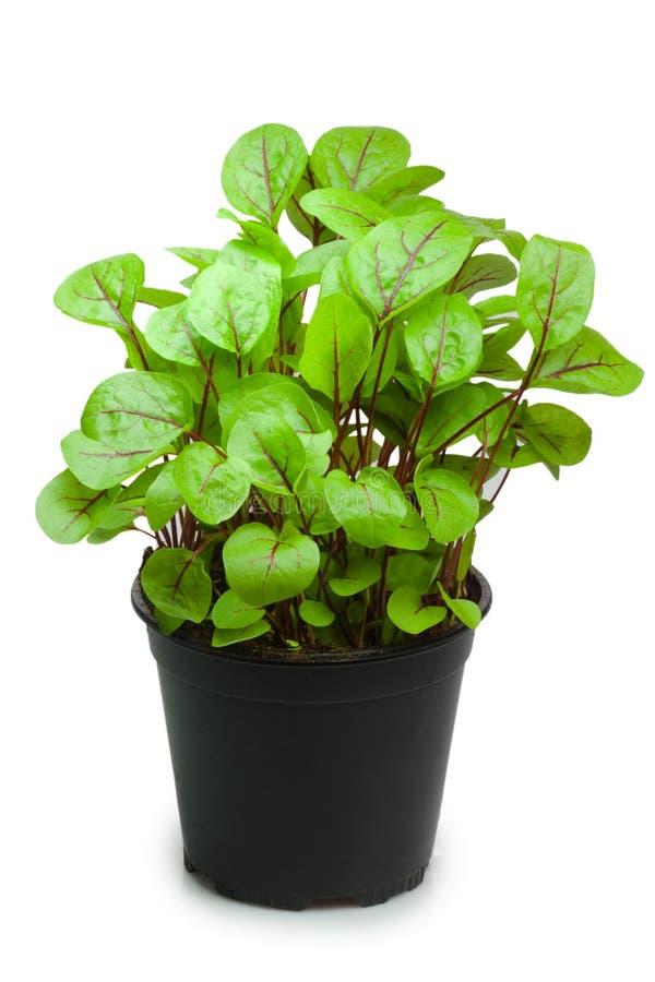 Download Sorrel in a pot stock photo. Image of sorrel, herbs, grow - 14970134