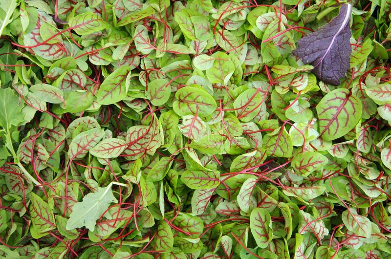 Sorrel red veined salad greens view from above stock images