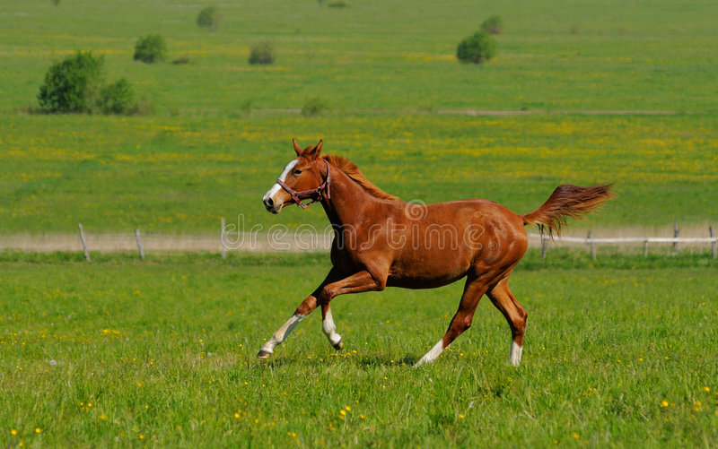 Download Sorrel stallion stock photo. Image of mammal, equestrian - 6422008