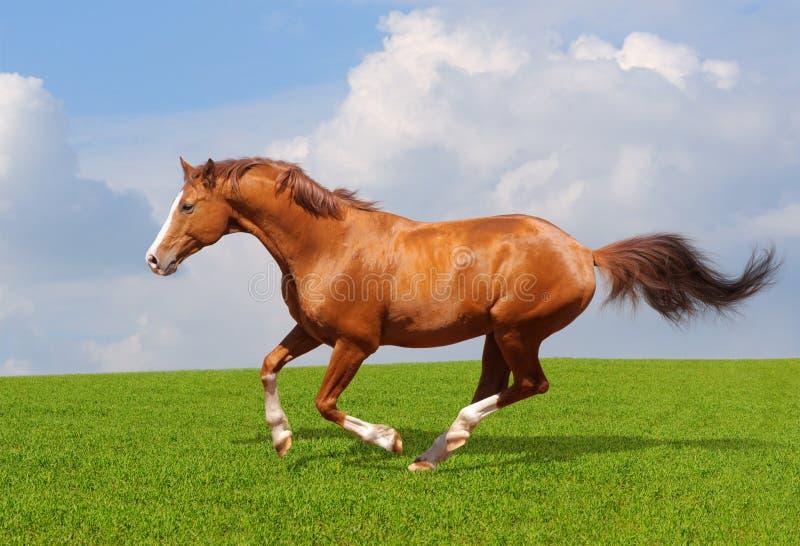 Sorrel trakehner stallion stock photos