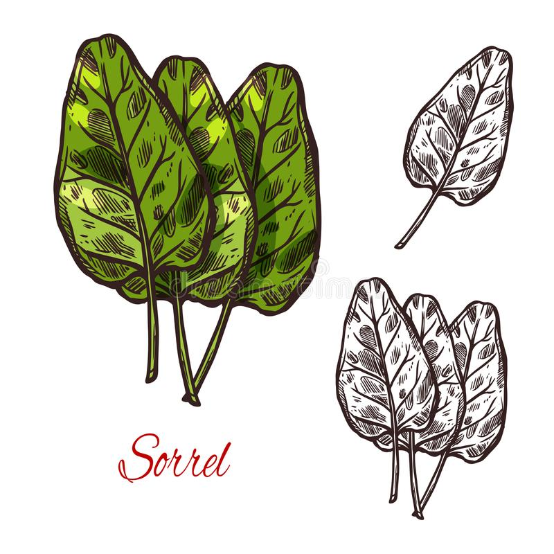 Sorrel vegetable spice herb vector sketch icon. Sorrel vegetable spice herb plant sketch icon. Vector isolated leaf of wild sorrel lettuce for culinary cuisine royalty free illustration