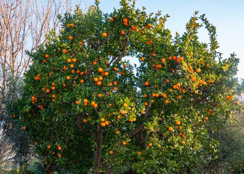 Sorrento, Amalfi Coast, Italy. Orange trees on the Amalfi Coast near Sorrento, a splendid village and seaside resort, behind the Gulf of Naples and close to stock images