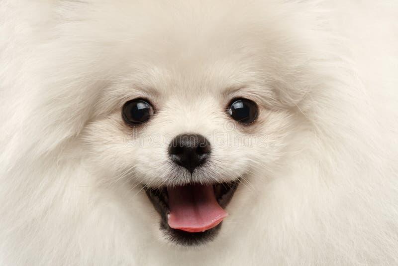 Sorridere curioso di felicità del primo piano di Pomeranian del cane bianco simile a pelliccia dello Spitz fotografie stock