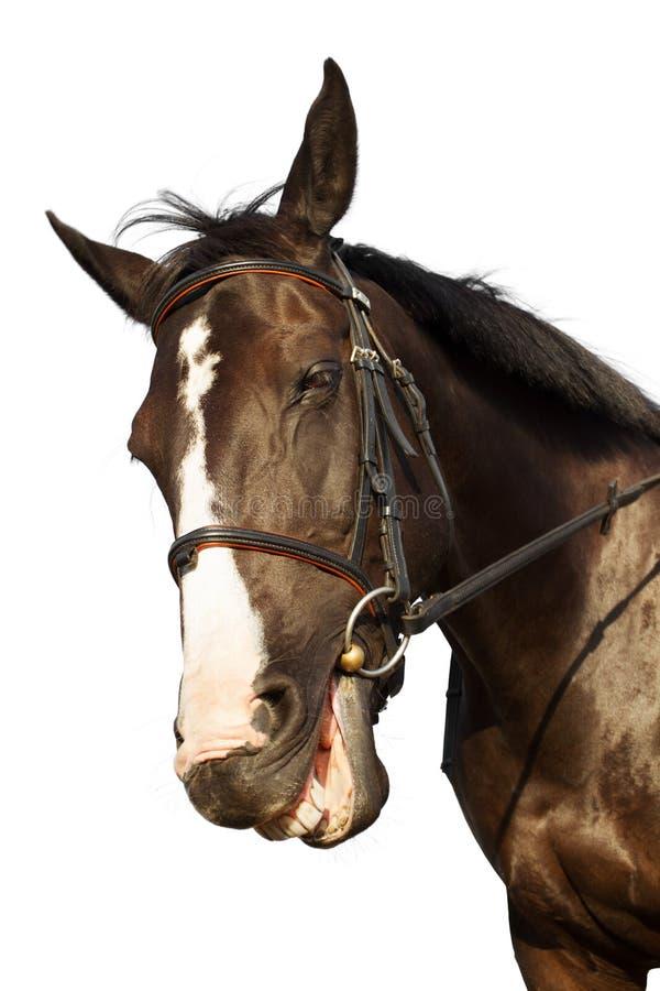 Sorridere divertente del cavallo sopra il fondo bianco fotografia stock libera da diritti