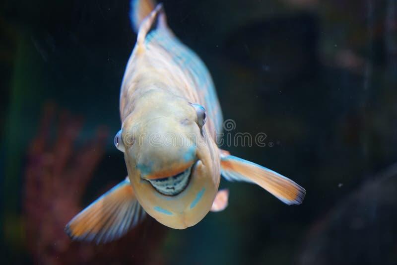 Sorrindo peixes do papagaio imagens de stock