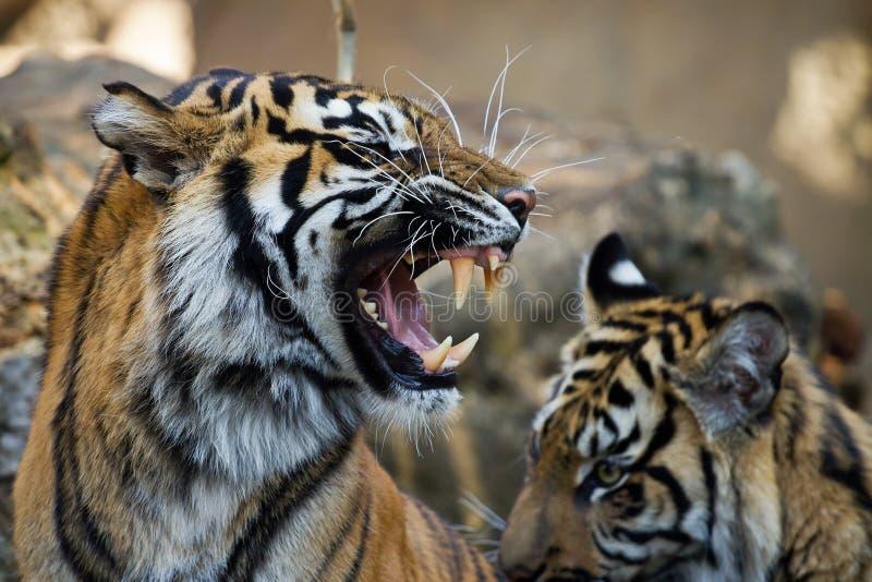Sorrir forçadamente de um tigre do sumatran imagens de stock royalty free