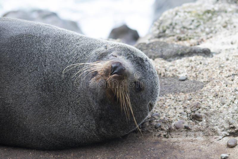 Sorrisi della Nuova Zelanda di una guarnizione di pelliccia per la macchina fotografica immagini stock