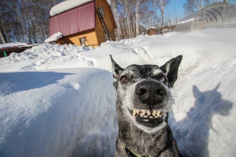 Sorrisi grigi del pastore sulla natura immagini stock