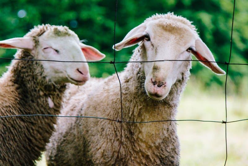Sorrisi inquisitori felici delle pecore fotografie stock libere da diritti