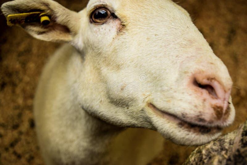 Sorriso amigável da cabra fotos de stock
