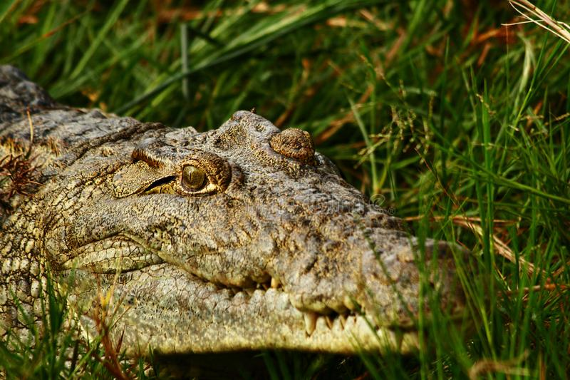 Sorriso assustador do crocodilo fotografia de stock royalty free