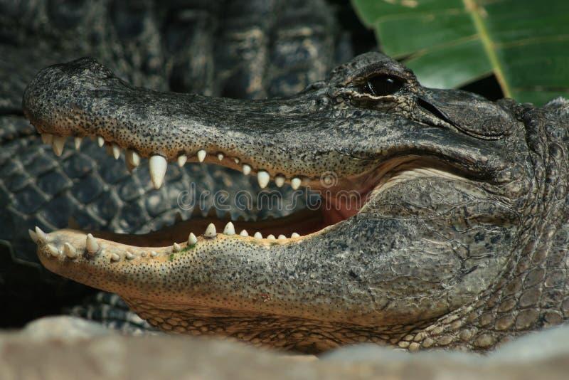 Sorriso del coccodrillo fotografia stock