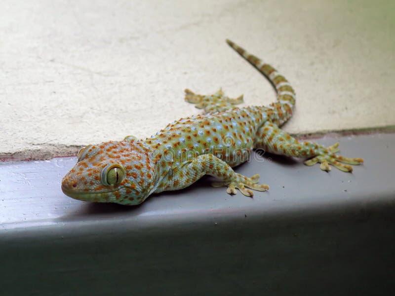 Sorriso del geco della Tailandia fotografia stock