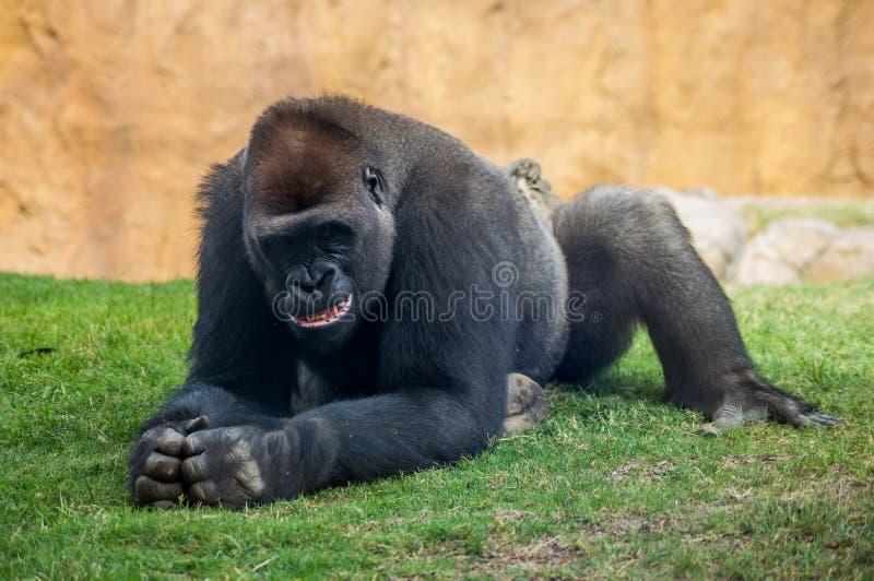 Sorriso della gorilla immagini stock libere da diritti