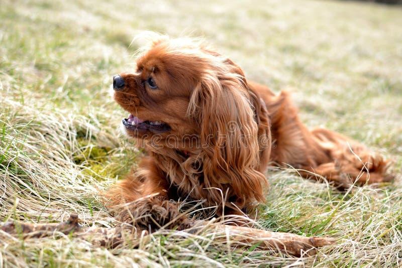 Sorriso descuidado bonito do cachorrinho do spaniel de rei Charles imagens de stock royalty free