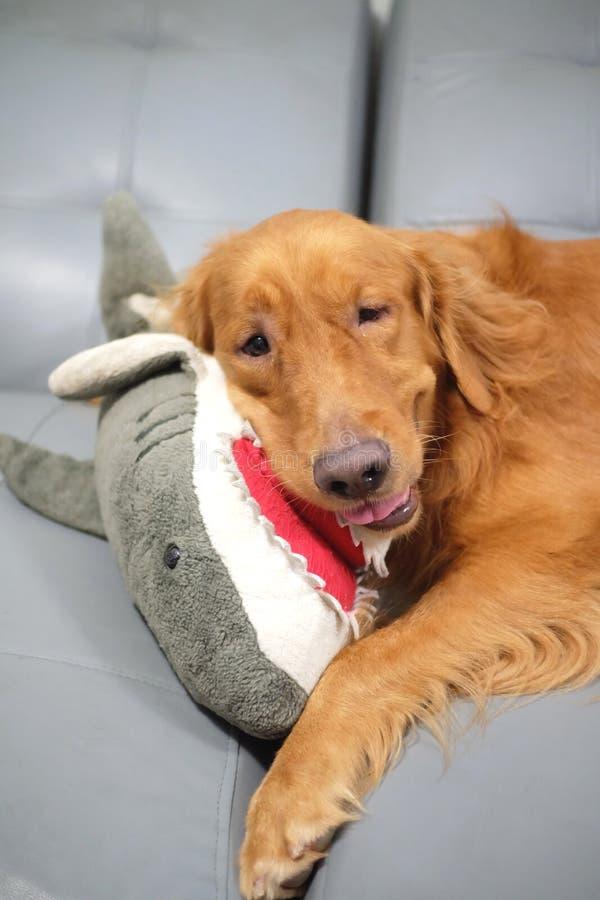 Sorriso do cão do golden retriever e uma boneca do tubarão em seus braços foto de stock