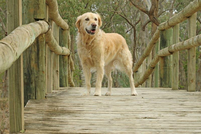 Sorriso feliz do cão do golden retriever na ponte de madeira imagens de stock royalty free