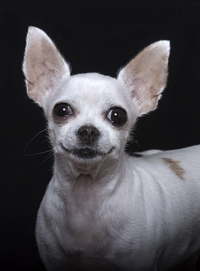 Sorriso, naso nero e grandi orecchie della chihuahua fotografia stock libera da diritti