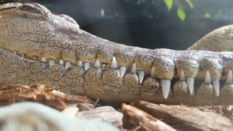 Sorrisos de Croc foto de stock royalty free