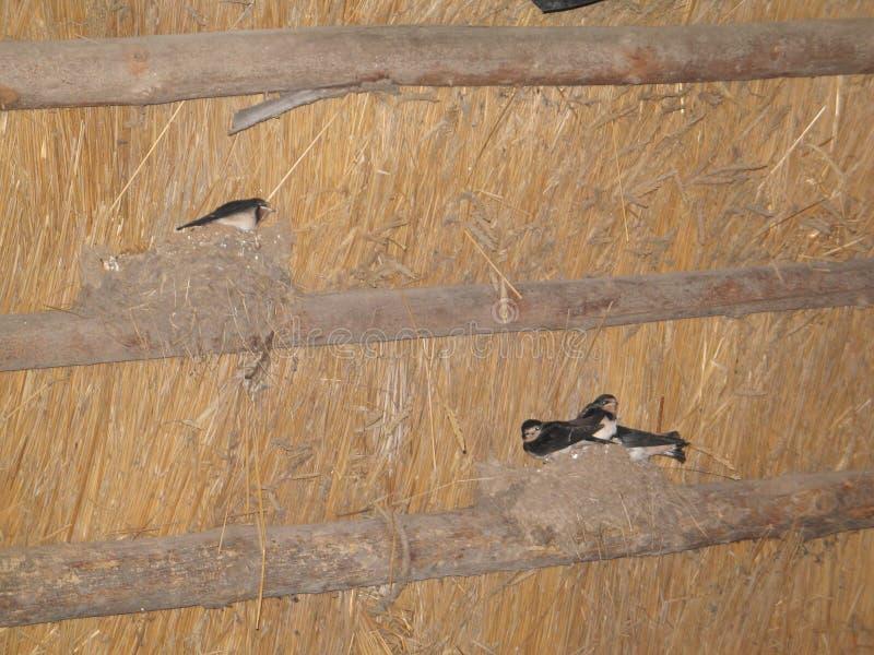 Sorsi degli uccelli nel nido immagini stock