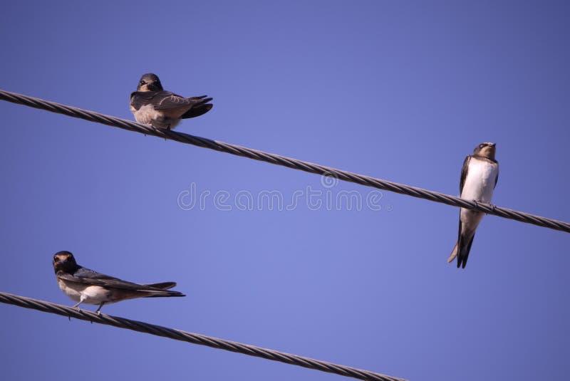 3 sorsi della Cipro che si siedono sul cielo blu elettrico dei cavi del telefono fotografia stock libera da diritti