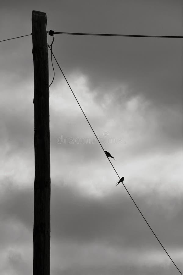 Sorso appollaiato sulla linea elettrica fotografie stock libere da diritti