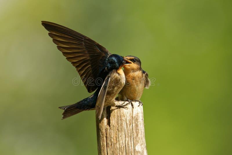 Sorso pacifico - uccello delle passeriforme di tahitica del Hirundo piccolo nella famiglia del sorso Cresce nell'Asia meridionale immagini stock