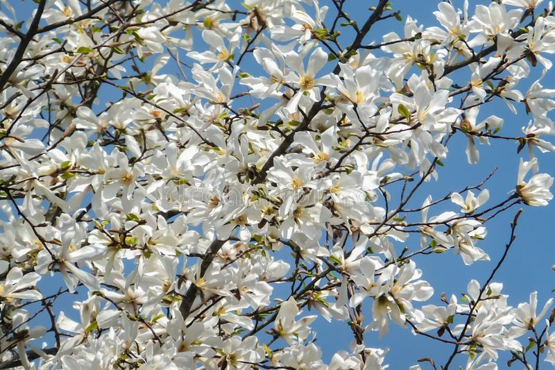 Sort de fleurs blanches magnifiques de magnolia dans un ciel bleu Comme un troupeau des papillons blancs ! photo libre de droits