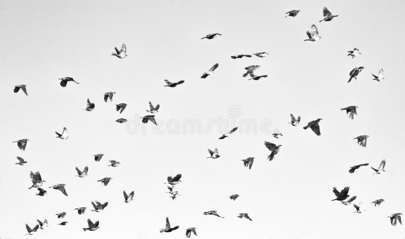 Sort de fond gris-clair de ciel d'oiseaux de vol image stock