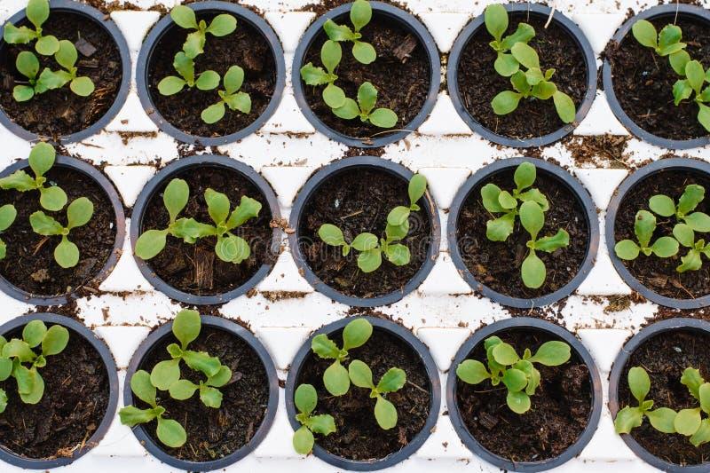 sort de jeunes plantes de laitue photos stock