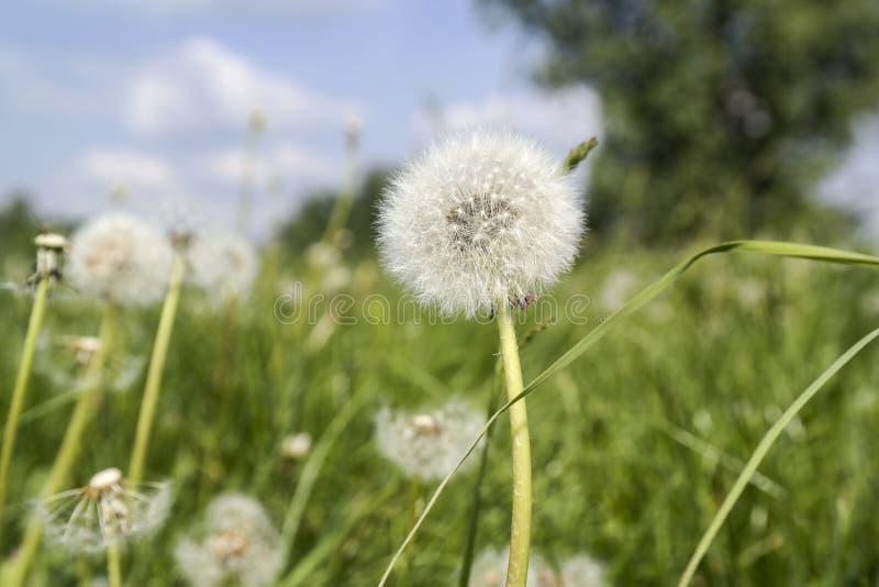 Sort de pissenlits en gros plan sur la nature au printemps contre le contexte de la maison d'été photo stock