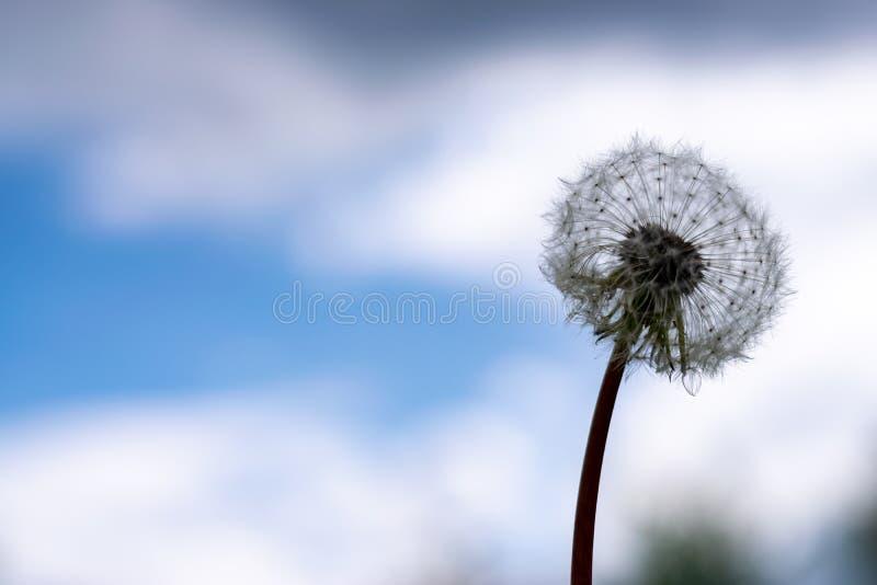 Sort de pissenlits en gros plan sur la nature au printemps photographie stock libre de droits