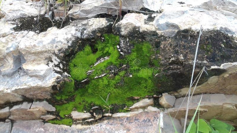 Sorten av den gröna lilla växten på vaggaberget arkivbilder