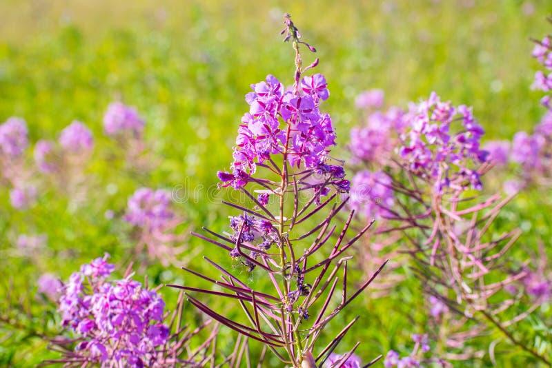 Sortie de floraison fleurissante, saule-herbe, plan rapproché images stock
