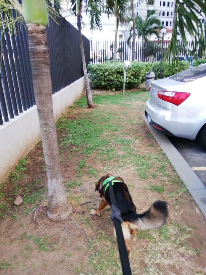 Sortie du chien pour une promenade photo stock