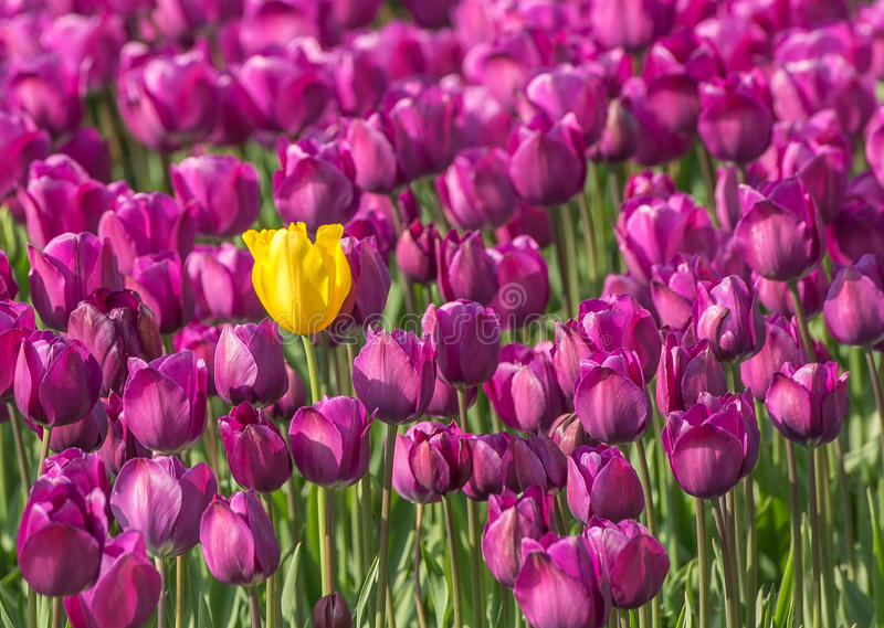 Sortieren Sie Tulpe aus stockfoto