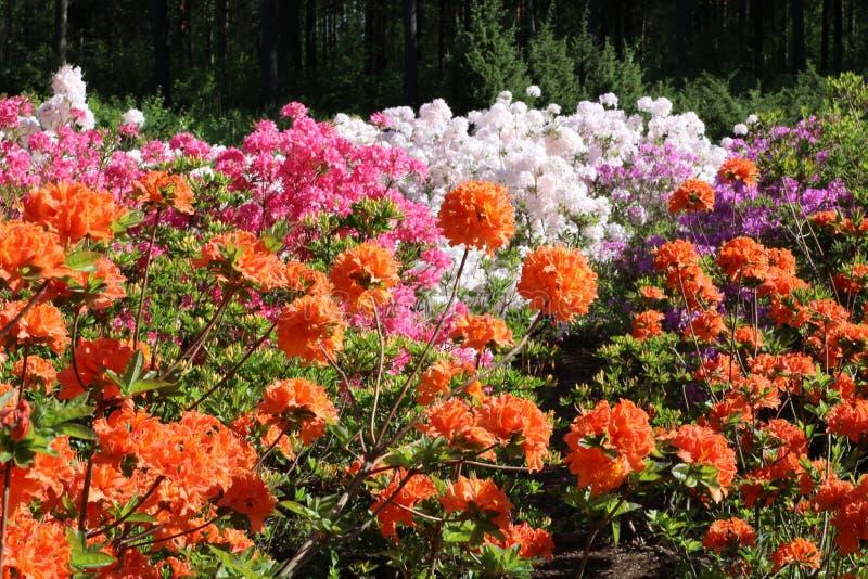 Sortiment van azalea's royalty-vrije stock afbeelding