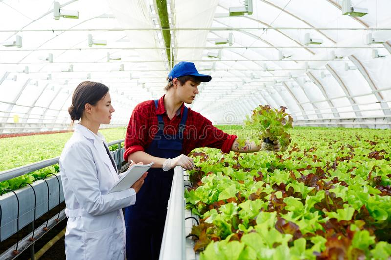 Sorting lettuce. Young farmer and scientist standing by plantation and looking at fresh green lettuce leaves growing in glasshouse royalty free stock image