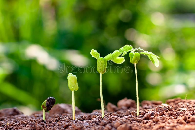Sorting seedlings growing from fertile soil with morning sunlight royalty free stock image