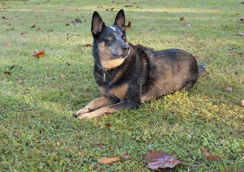 Sorveglianza australiana blu del cane del bestiame di Heeler fotografie stock libere da diritti