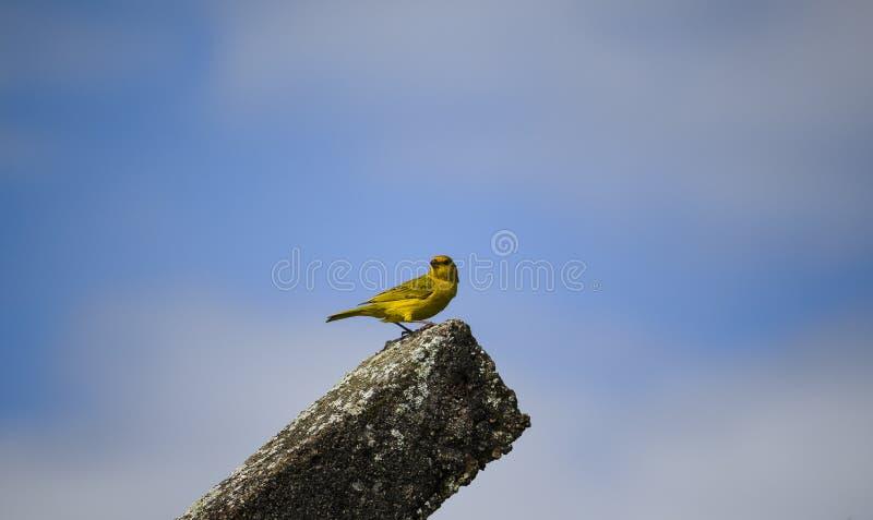 Sorveglianza brasiliana del canarino fotografie stock libere da diritti