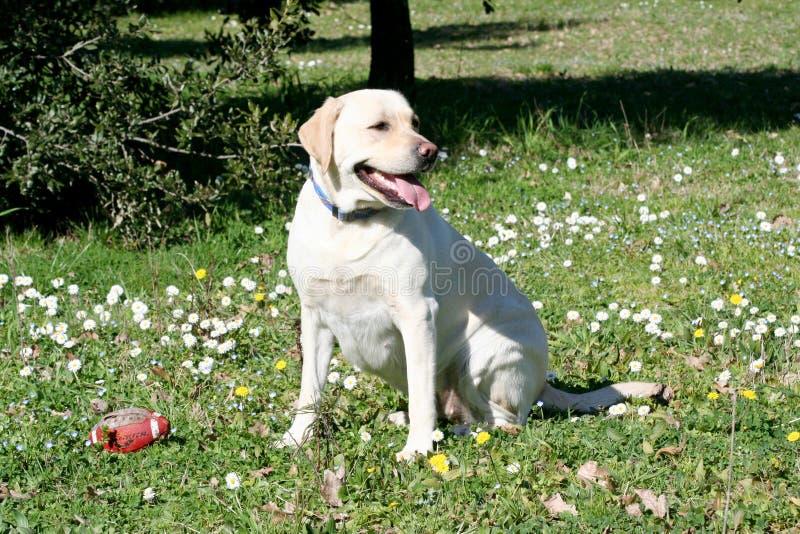 Sorveglianza del cane di Labrador immagine stock libera da diritti