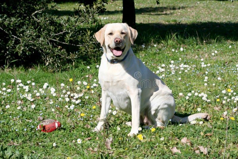 Sorveglianza del cane di Labrador immagini stock