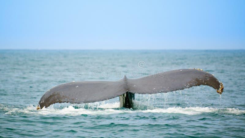 Sorveglianza della balena fotografia stock