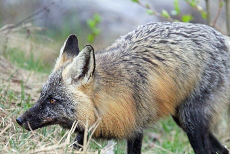 Sorveglianza della volpe grigia fotografia stock libera da diritti