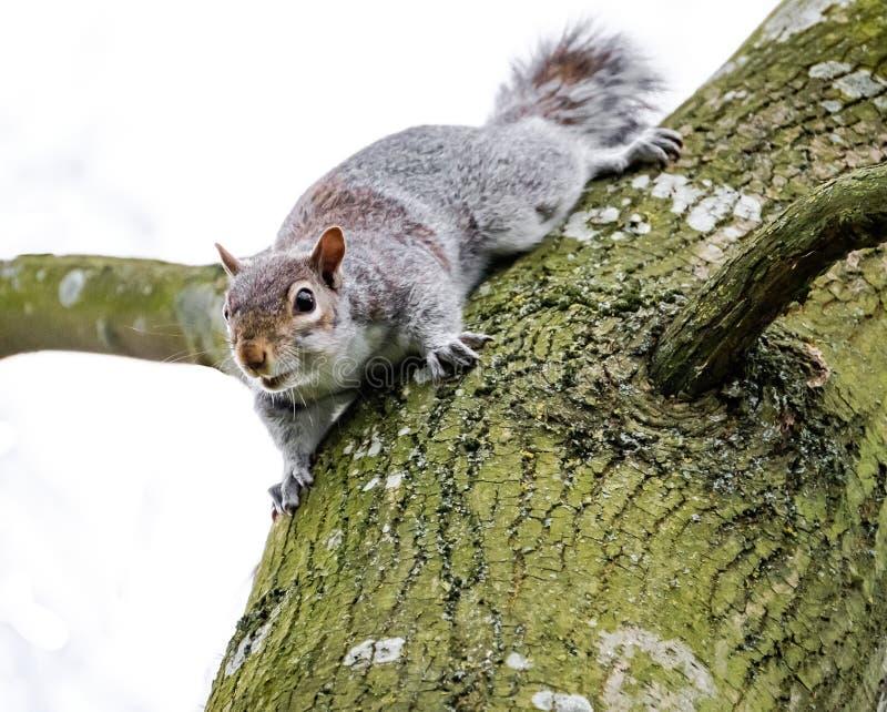 Sorveglianza veduta Grey Squirrel adulta della femmina, visto vicino al suo drey su un grande albero fotografia stock