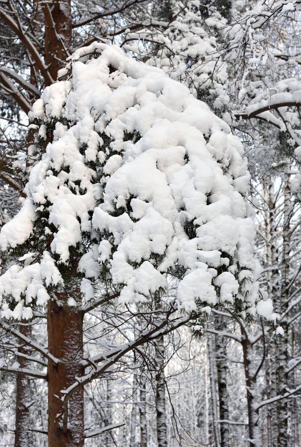 Sosen gałąź zakrywać z śniegiem w lesie obraz stock