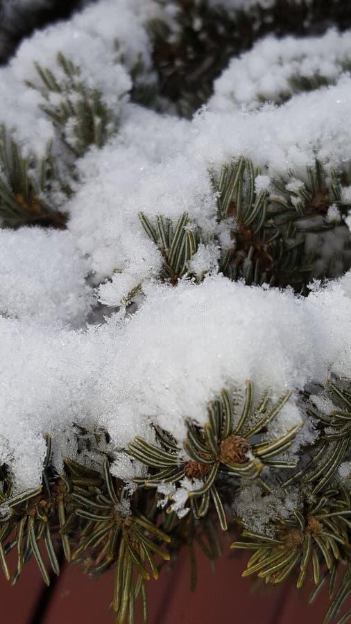 sosna śnieg fotografia stock