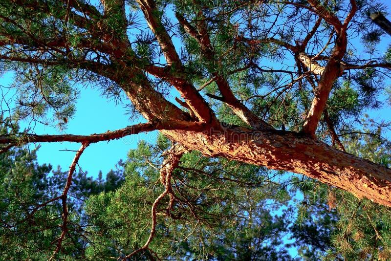 Sosna, drzewny bagażnik, igły, natura, sosna żywa fotografia stock