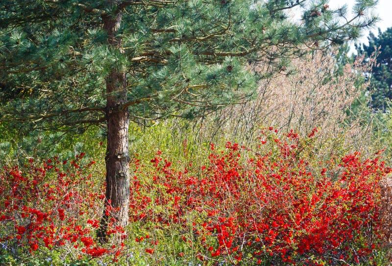 Sosna i kwitnąć krzak w wiosna parku obrazy stock